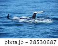 知床の海を泳ぐシャチの群れ 28530687