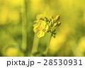 菜の花 28530931