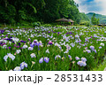 花菖蒲が満開のせせらぎ公園 28531433