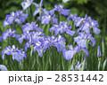 花菖蒲が満開のせせらぎ公園 28531442