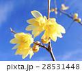 青空に咲く蝋梅1 28531448