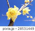 青空に咲く蝋梅2 28531449