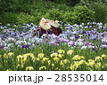 花菖蒲が満開のせせらぎ公園の花摘み娘 28535014