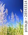 1月沖縄 屋我地島のサトウキビ畑の花 28543314