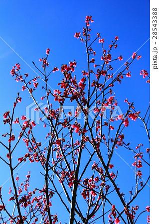 赤い花咲く木 28543388