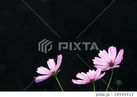 コスモス (センセーション) その23。 Cosmos flower 28543413