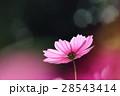 花 コスモスの花 センセーションの写真 28543414