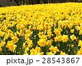 ゲレンデ一面に咲く水仙 28543867