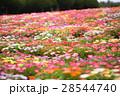 満開のデイジーの花畑 28544740