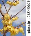 甘い香りを放つ蝋梅の花 28545903