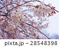 桜 サクラ ソメイヨシノの写真 28548398