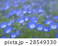 ネモフィラの草原 28549330