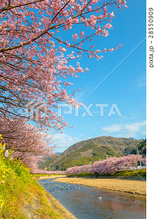 桜 菜の花 伊豆 28550909