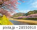 桜 河津桜 菜の花の写真 28550910