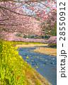 桜 河津桜 菜の花の写真 28550912