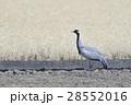鶴 鳥 ツル科の写真 28552016