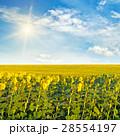 ひまわり 向日葵 野原の写真 28554197