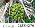 林投樹 海濱植物 28554279
