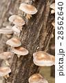 原木 原木椎茸 椎茸の写真 28562640