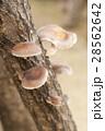 原木 原木椎茸 椎茸の写真 28562642