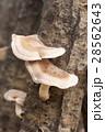 原木 原木椎茸 椎茸の写真 28562643