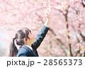 高校生と桜 28565373