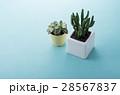ミニサボテン 観葉植物 サボテンの写真 28567837