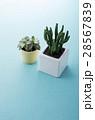 プロリフェラ ミニサボテン 観葉植物の写真 28567839