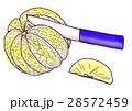 グレープフルーツ カット 5 28572459