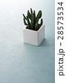 ミニサボテン 観葉植物 サボテンの写真 28573534