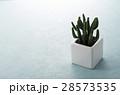 ミニサボテン サボテン サボテン科の写真 28573535