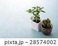 カポック 観葉植物 ミニサボテンの写真 28574002
