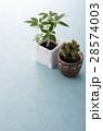 カポック 観葉植物 ミニサボテンの写真 28574003