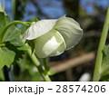 エンドウの白いr花 28574206