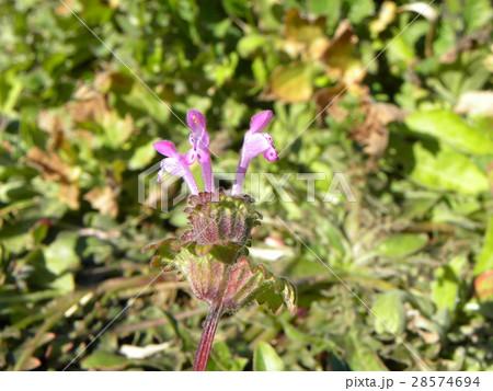 春の初めに咲き始める紫の小さい花はホトケノザ 28574694