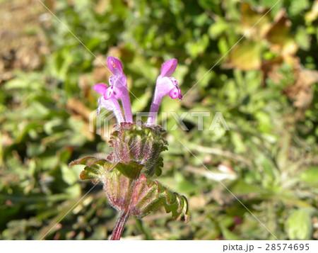 春の初めに咲き始める紫の小さい花はホトケノザ 28574695