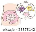 腸内フローラと菌の割合 28575142