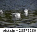 稲毛海浜公園に飛来したユリカモメ 28575280