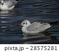 稲毛海浜公園に飛来したユリカモメ 28575281