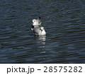 稲毛海浜公園に飛来したユリカモメ 28575282