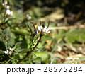 タネツケバナの小さい花が撮れました 28575284