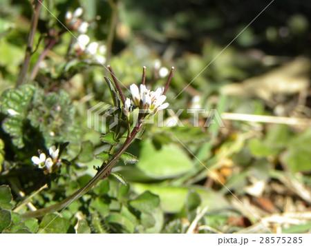 タネツケバナの小さい花が撮れました 28575285