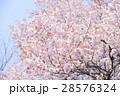 桜(空バック) 28576324