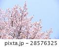 桜(空バック) 28576325