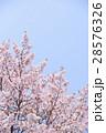 桜(空バック) 28576326
