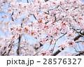 桜(ハイキー) 28576327