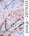 桜(ハイキー) 28576328