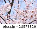 桜(ハイキー) 28576329