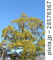 稲毛海岸駅前のカワヅザクラが咲いています 28576367