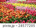 チューリップ チューリップ畑 花畑の写真 28577205